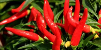 Growing Peppers Indoors