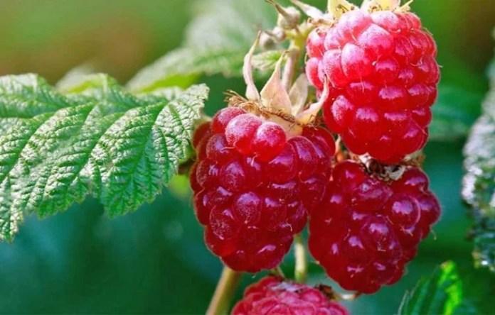 How to Grow Organic Raspberries in your Garden