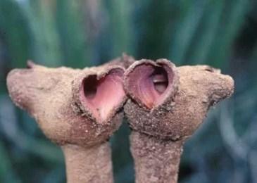 Hydnora triceps gardens nursery