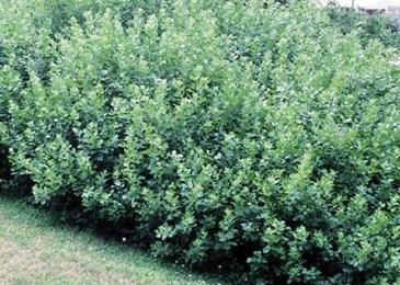 fragrant sumac