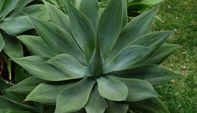 Growing Agaves in your Home Garden