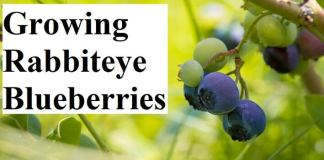 Growing Rabbiteye Blueberries