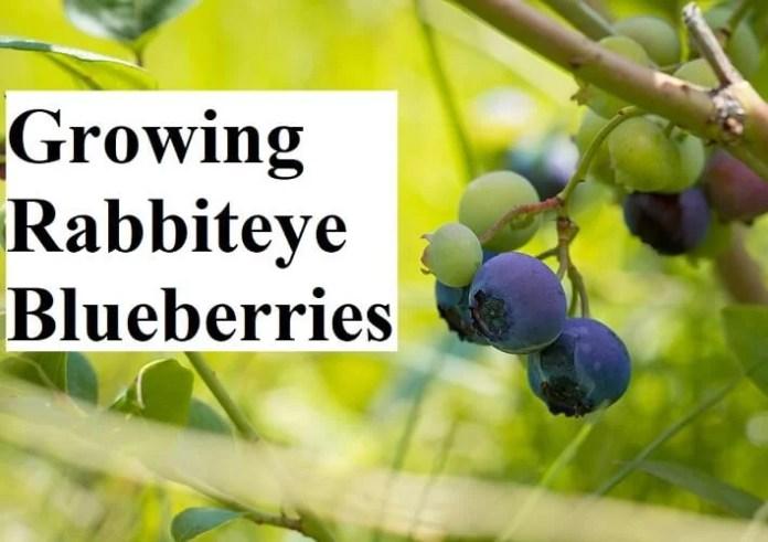 Growing Rabbiteye Blueberries