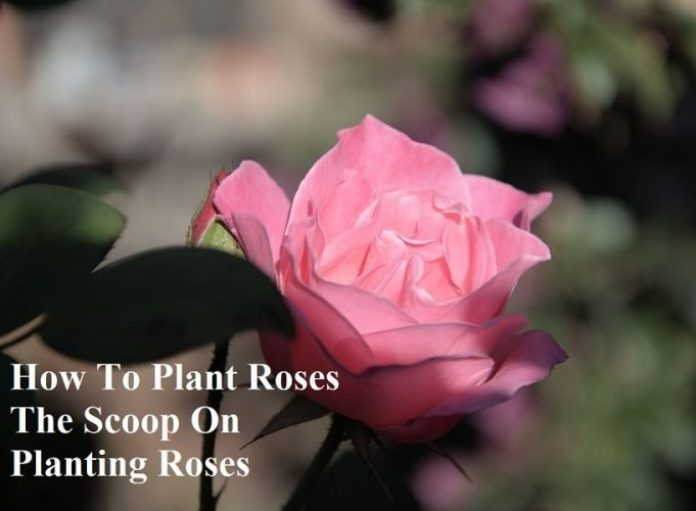 How To Plant Roses The Scoop On Planting Roses