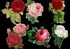 Best Beautiful Antique Roses in your Home Garden