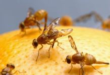 Fruit Flies Defense