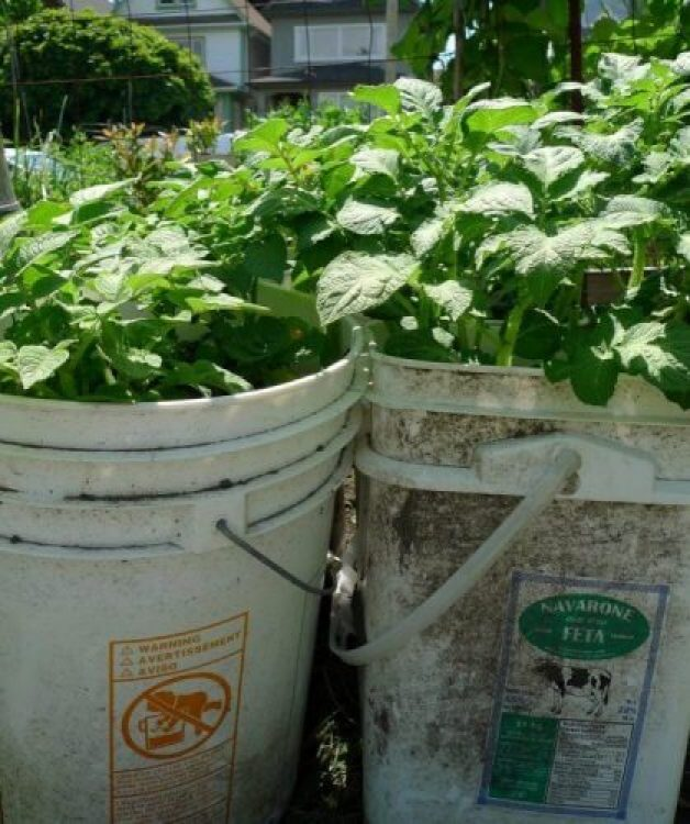 Growing Potatoes In A Bucket