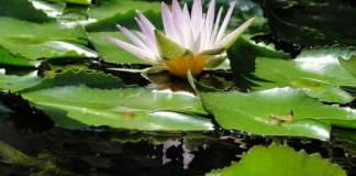Most Aquatic Plants you can Grow in your Home Garden