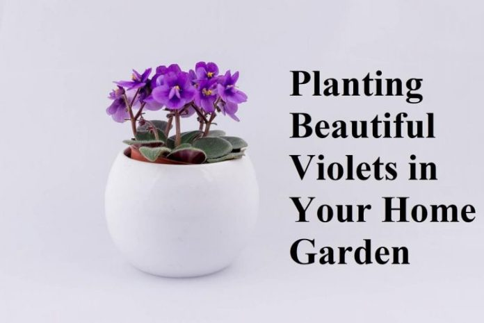 Planting Beautiful Violets in Your Home Garden