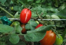 Prevent Tomato Diseases in your Home Garden