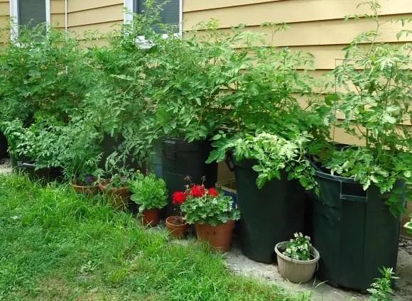 Simple Tasks to Rejuvenate Landscape and Containerized Plants