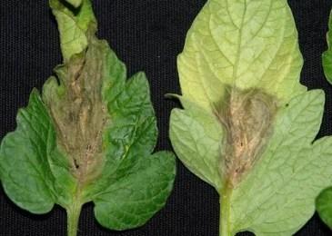 Gray mold (Botrytis)