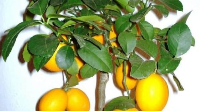 HOW TO GROW CITRUS FRUITS TREE IN YOUR HOME GARDEN