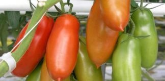 How To Grow San Marzano Tomatoes