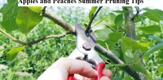 Apples and Peaches Summer Pruning Tips
