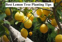 Best Lemon Tree Planting Tips