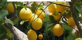 Best Lemon Tree Planting Tips