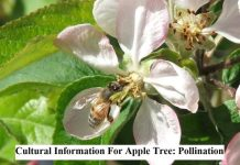 Cultural Information For Apple Tree: Pollination