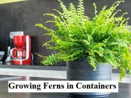 Growing Ferns in Containers - Bring the Woodlands to Your Container Garden