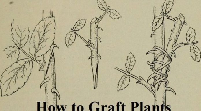 How to Graft Plants
