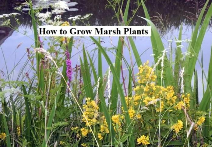 How to GrowMarsh Plants