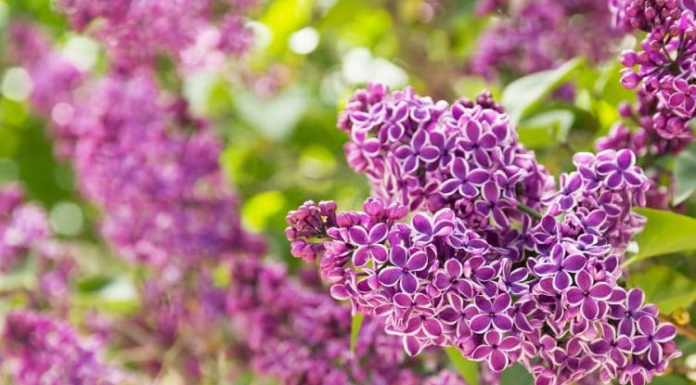 All About Lilacs in your Home Garden