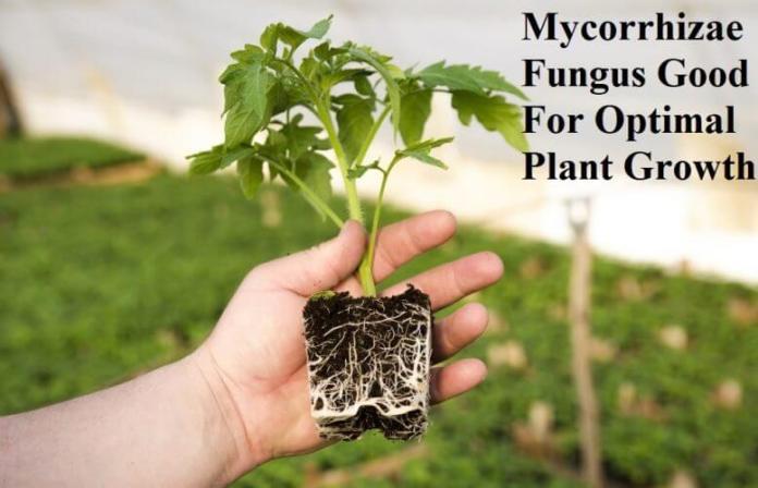 Mycorrhizae Fungus Good For Optimal Plant Growth