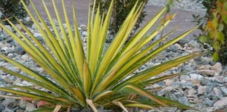 Planting Rustic Yucca for an Exotic Ambiance