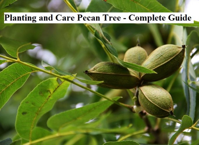 Planting and Care Pecan Tree - Complete Guide