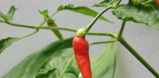 First Home Grown Cayenne Pepper