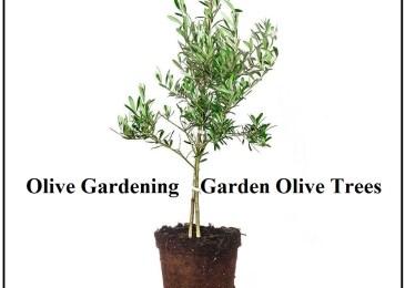 Olive Gardening - Garden Olive Trees