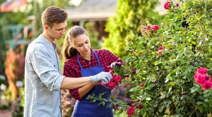How to Grow Healthy Roses