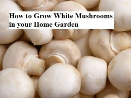 How to Grow White Mushrooms in your Home Garden