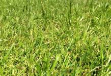 """Ryegrass"" Pros and Cons of Overseeding Lawns"