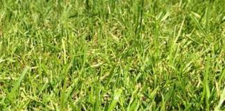 """""""Ryegrass"""" Pros and Cons of Overseeding Lawns"""