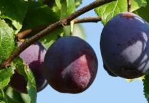 Grow your Own Juicy Plums