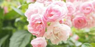 Roses and Rosebush in Your Garden