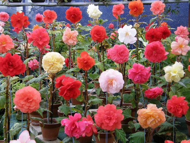 How to Grow Tuberous Begonias in your Garden