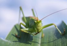 Raising and Breeding Grasshoppers