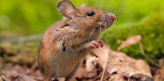 The Field Mouse in Your Garden
