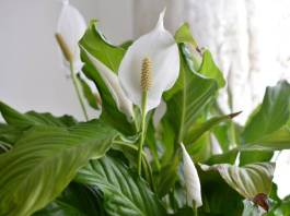 Is a Peace Lily Poisonous
