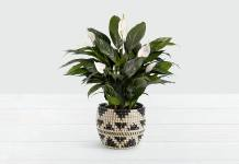 Peace Lily Plant – One of The Most Popular Houseplants