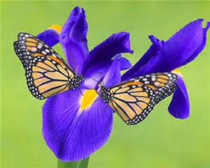 purple-monarch-butterfly