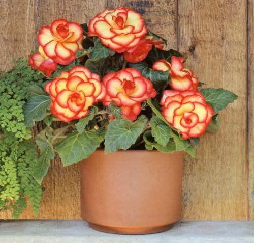 Begonia House Plant