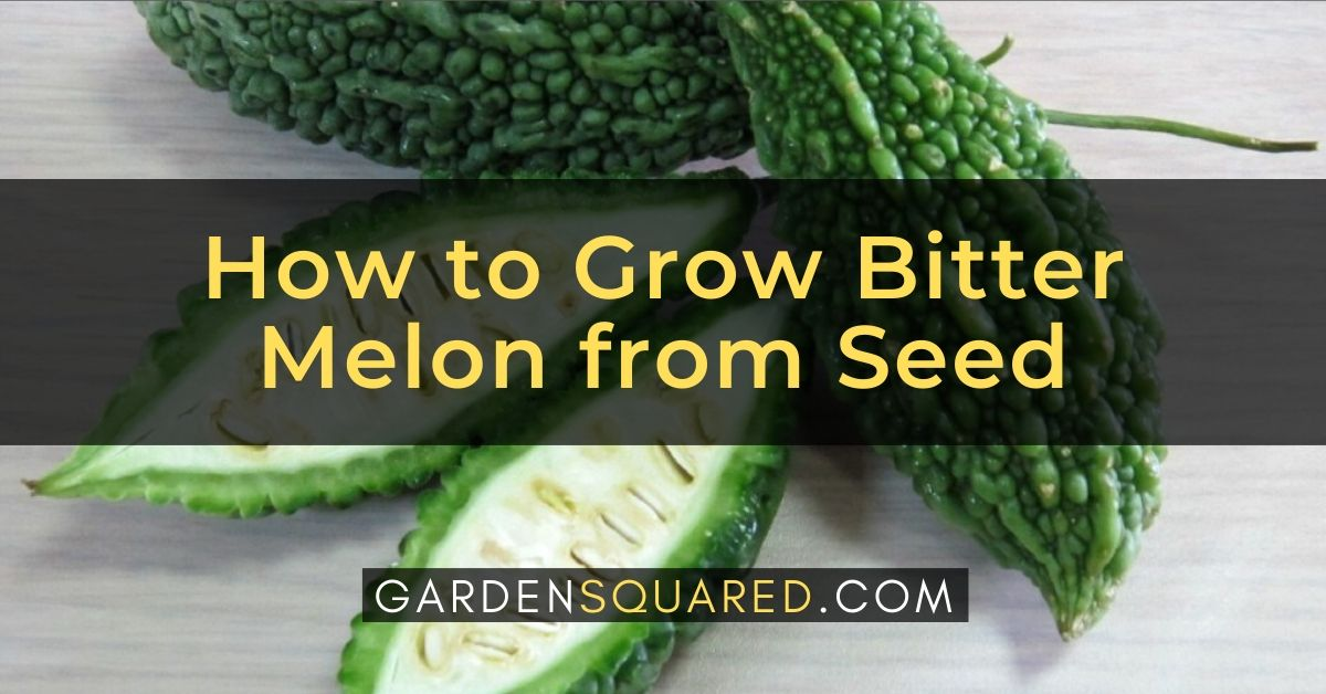 How To Grow Bitter Melon From Seed Bitter Gourd