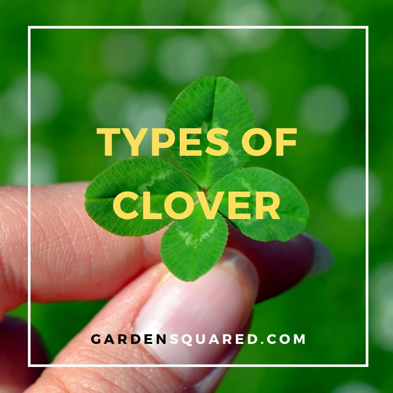 Varieties of Clover that grow in your lawn among your grass