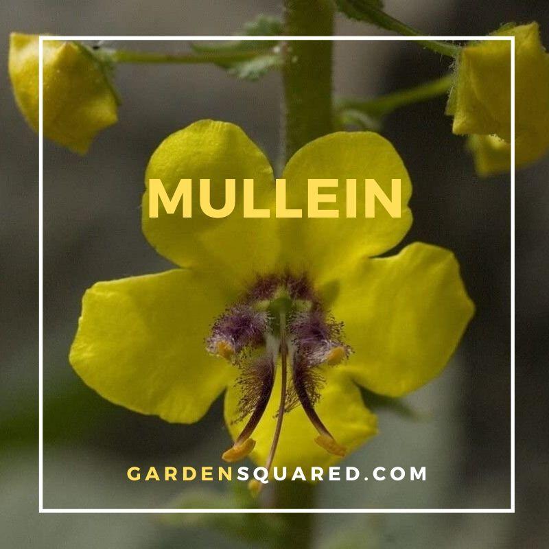 Mullein Flower - Varieties of Mullein Plants