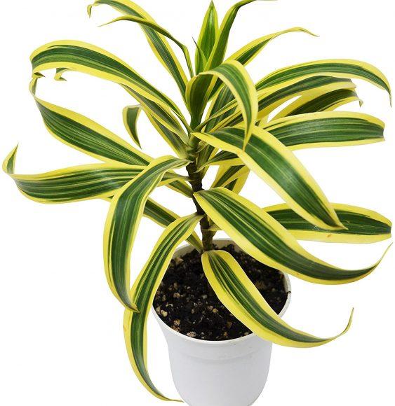 Dracaena Indoor Plant