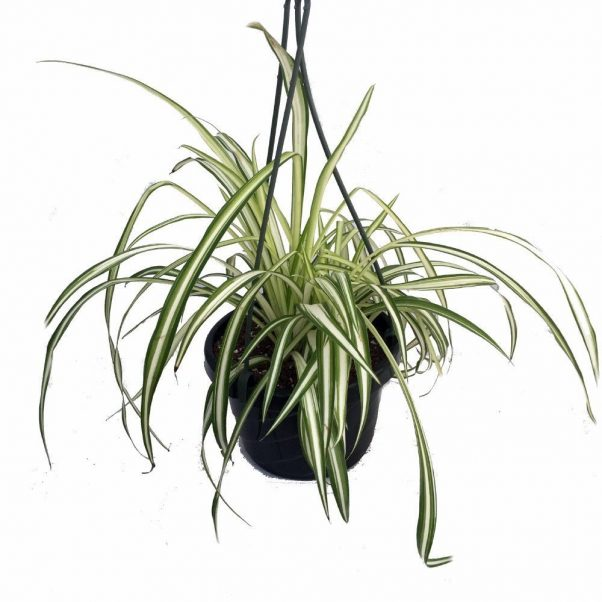 Spider Plant for House