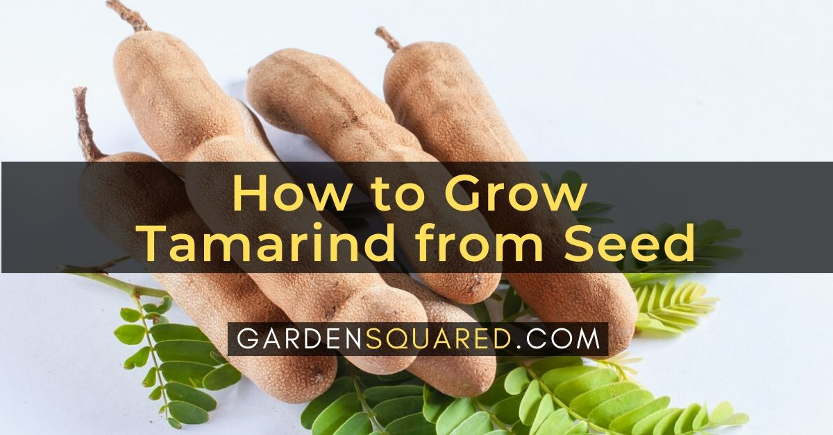 How to Grow Tamarind from Seed